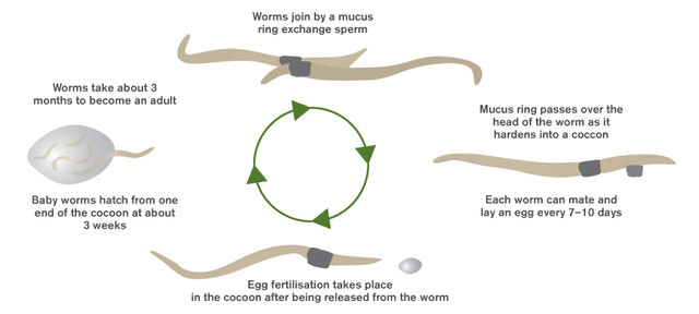 Hungry Bin Worm Farm - Worm life cycle